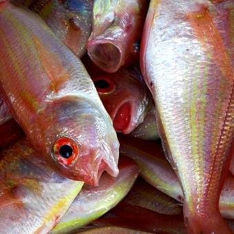 fornecedor-peixes-pargo
